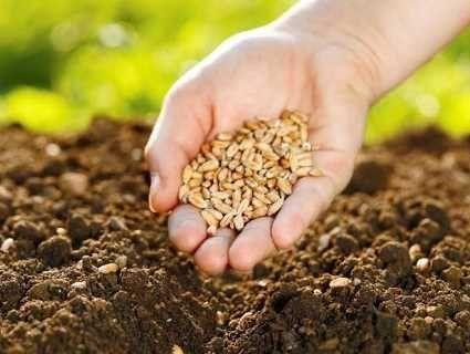 28 травня: сьогодні варто сіяти пшеницю