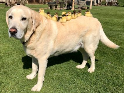 «Собаче серце»: пес став прийомним батьком для осиротілих качат (фото)