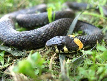 12 червня: змії влаштовують весілля