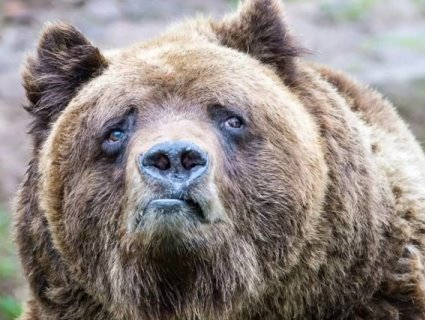Росіянин відбився від ведмедя, відкусивши тому язик (відео)