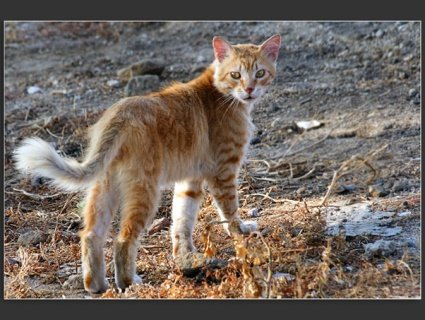 У Франції зловили рідкісну кішку-лисицю