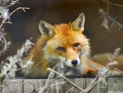 У Луцькому зоопарку збирають кошти на вольєр для лисиць