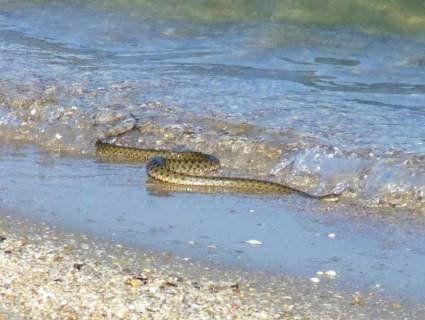 В курортному селищі на Азові переполох через змій у морі (фото, відео)