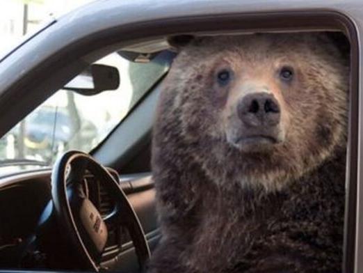 Ведмідь влаштував гонки і розтрощив викрадене авто (фото)