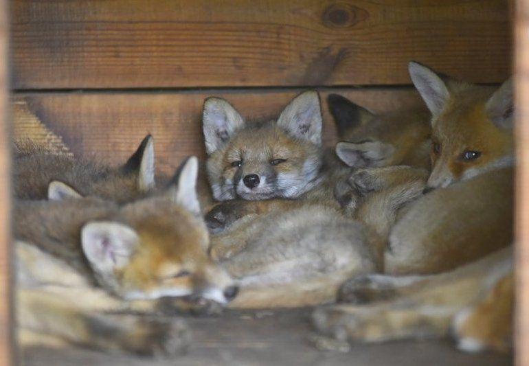 Сумні історії лисичок, для яких лучани всім миром будують вольєри (фото)