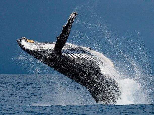 Зустріч каякера з трьома китами підірвала мережу (відео)