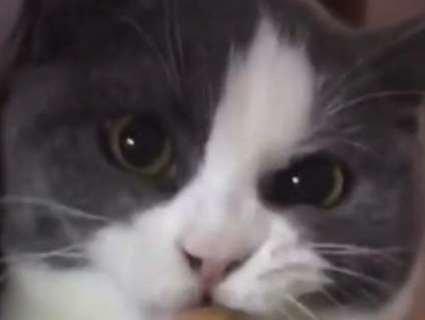 Вимогливий кіт «закочує драму», щойно господиня відбере смаковинку (відео)