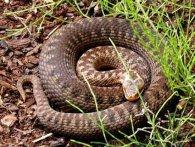 Як вберегтися від гадюк та що робити, якщо вкусила змія – розповів волинський експерт