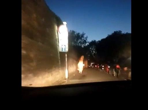 У мережу просочилися кадри погоні поліцейських за «динозавром» (відео)