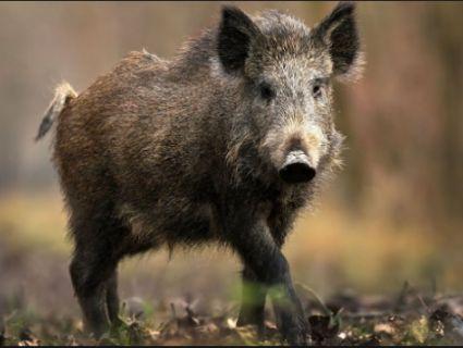 На Волині виявили новий спалах африканської чуми свиней