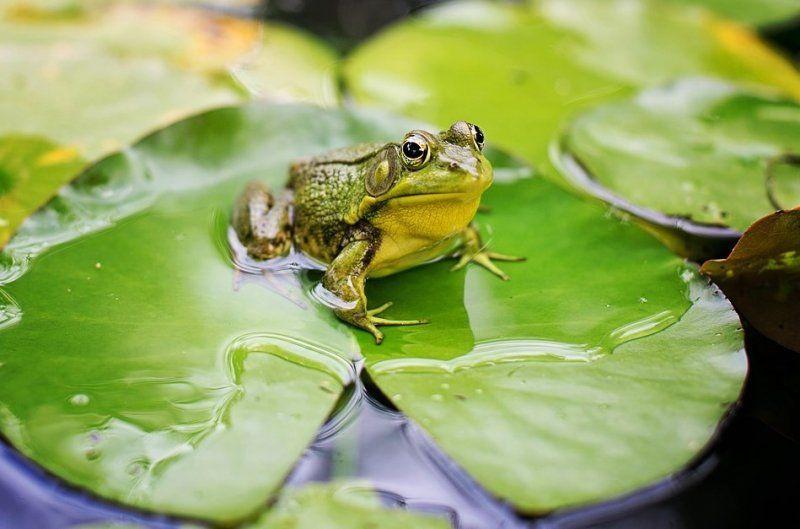 Поліція розслідує, чому жаби гучно квакають ночами