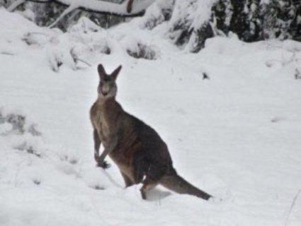 Кенгуру серед кучугур: Австралію засипало снігом (відео)
