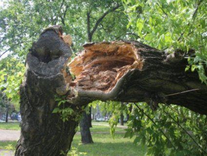 «Родивсь у сорочці»: у Києві на відео потрапив момент, як дерево падає на чоловіка