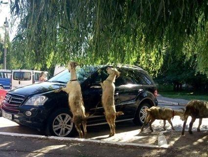 Ну і ну: у місті на Волині кози штовхають авто