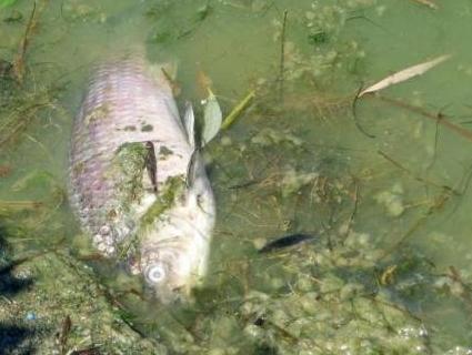 У Рівному – масова загибель риби