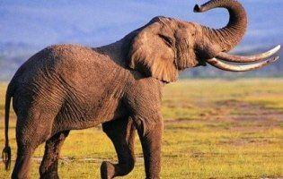 Більшість країн забороняють продаж африканських слонів у цирки та зоопарки