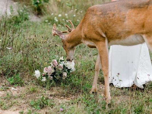 Зухвалий олень відібрав у нареченої весільний букет (фото)