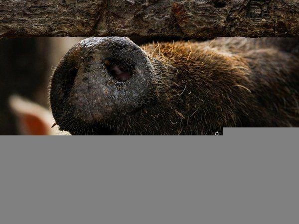 Кумедне відео: нахабна кицька осідлала свиню
