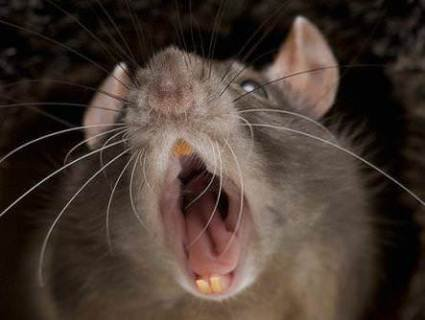 Через укус щура волинянин заразився смертельно небезпечною хворобою
