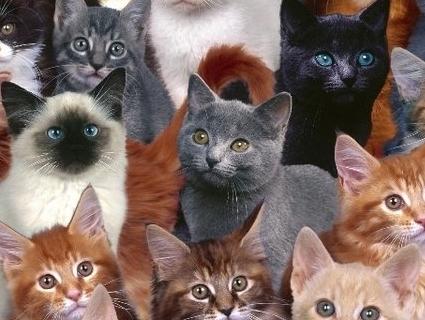 На вихідних у Луцьку відбудеться виставка-ярмарок котів
