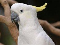 Закоханий папуга фліртує з іграшкою (відео)
