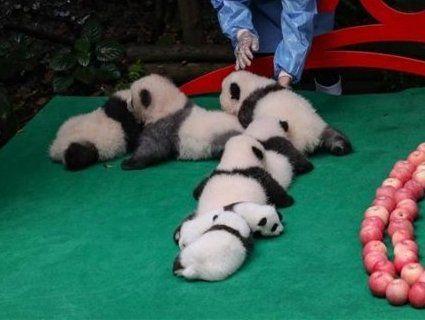 Мімімішність зашкалює: показали сім малюків панди (відео)