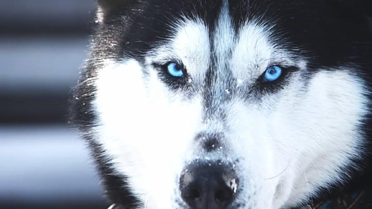 Хаскі закатав істерику у ветеринара і став зіркою мережі (відео)