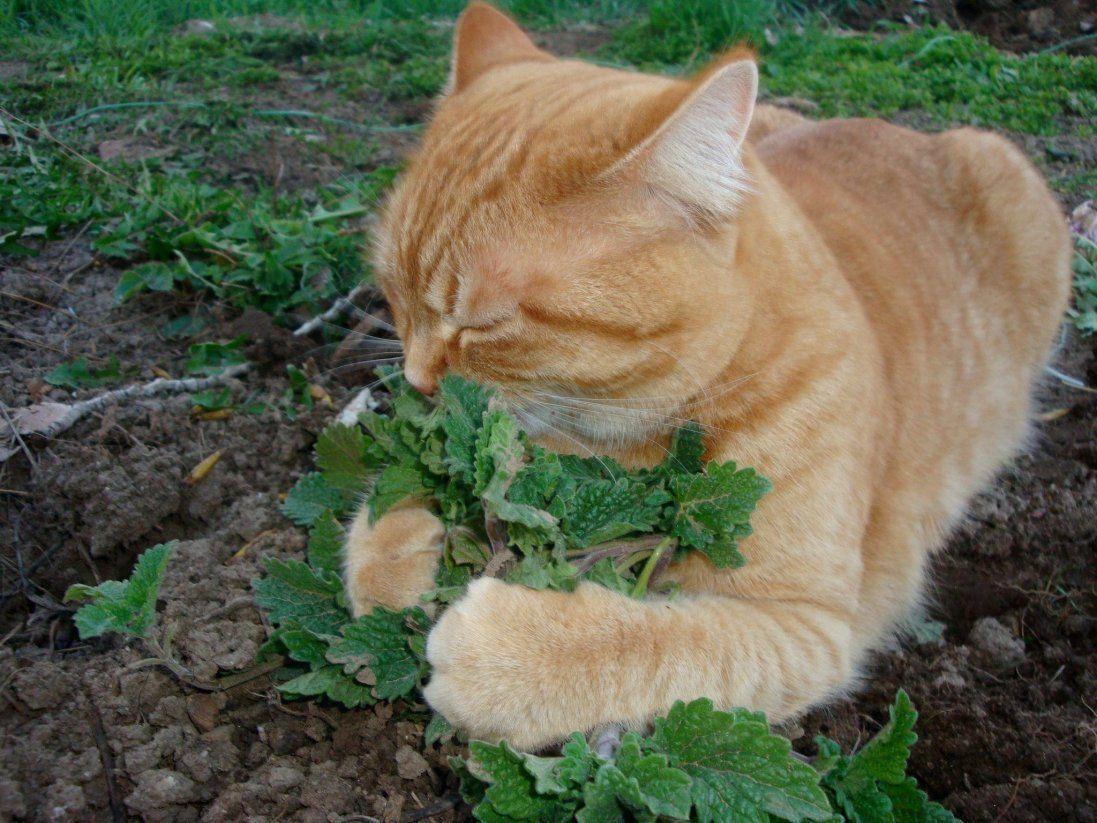 «Збавити темп»: котяча трава заспокоїть серцебиття