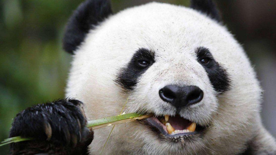 У Китаї пофарбованих собак видавали за панд (відео)
