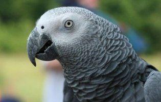 Гавкаючий папуга став зіркою мережі (відео)