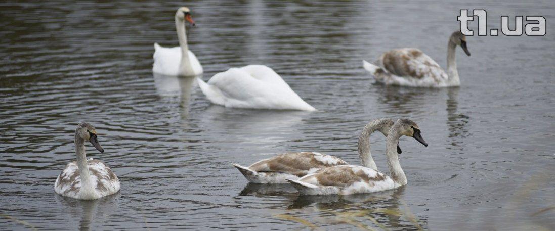 У Луцьку залишилася зимувати сім'я лебедів (фото)