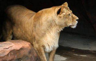 У Луцькому зоопарку до левів закинули кошеня