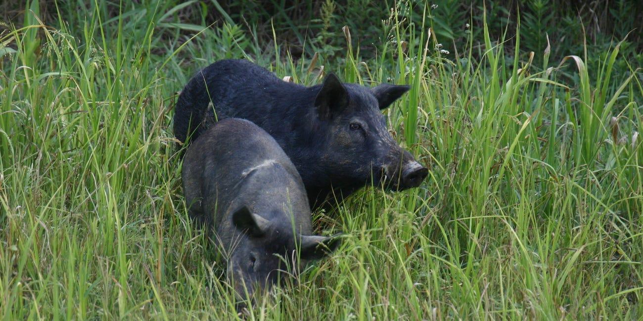 Дикі свині знайшли схований кокаїн і розорили наркодилерів