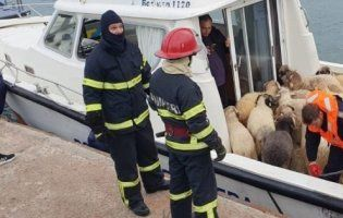 У Чорному морі перевернулося судно з понад 14 тисячами овець (фото, відео)