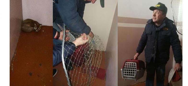 У Луцьку в під'їзді «оселилася» дика лисичка. Люди її не вигнали (фото)
