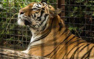 У Києві знайшли замкнених у вольєрах тигрів (фото)