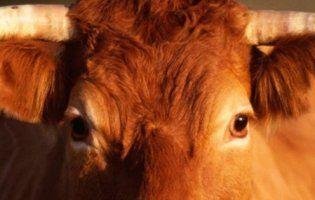 На Волині корова вбила молодого чоловіка