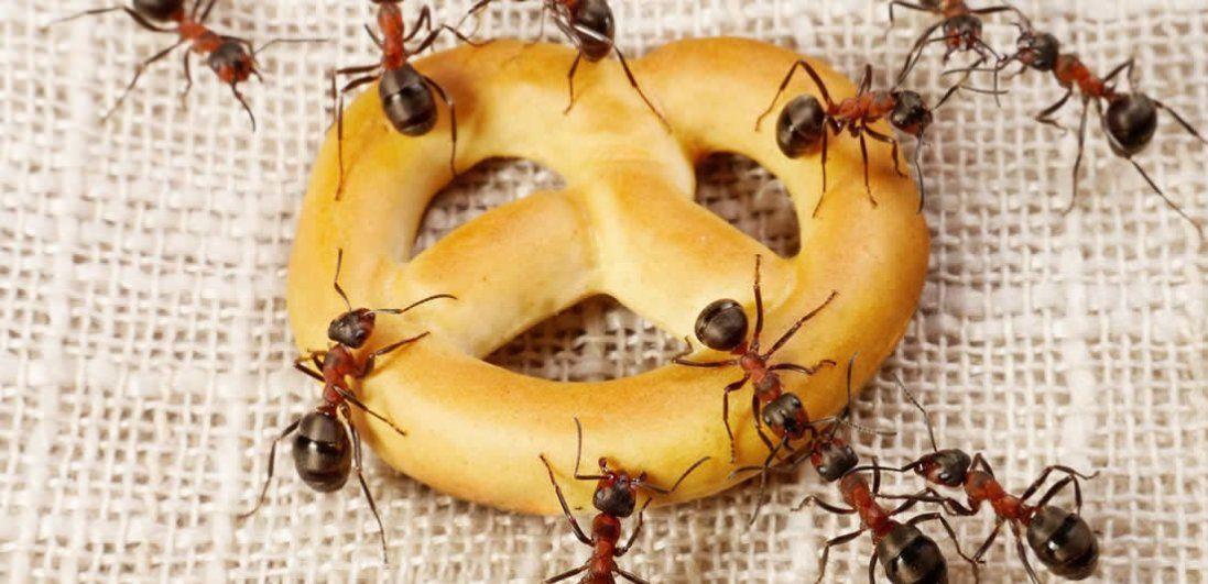 Як вивести мурах з квартири