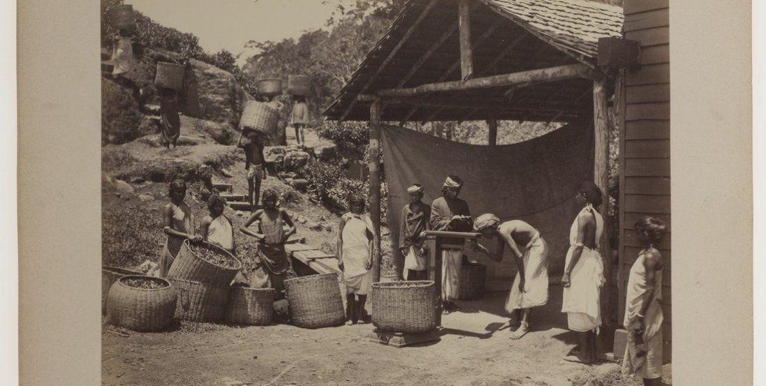 Як збирали каву та чай 140 років тому (фото)