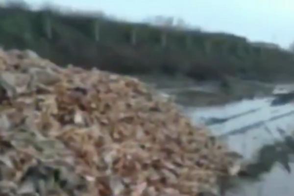 Тонни трупів курей/скріншот з відео