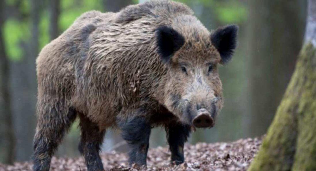 На Волині – карантин через африканську чуму свиней