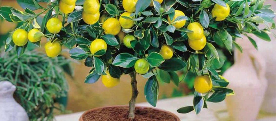 Смачно й корисно: як виростити екзотичні фрукти вдома