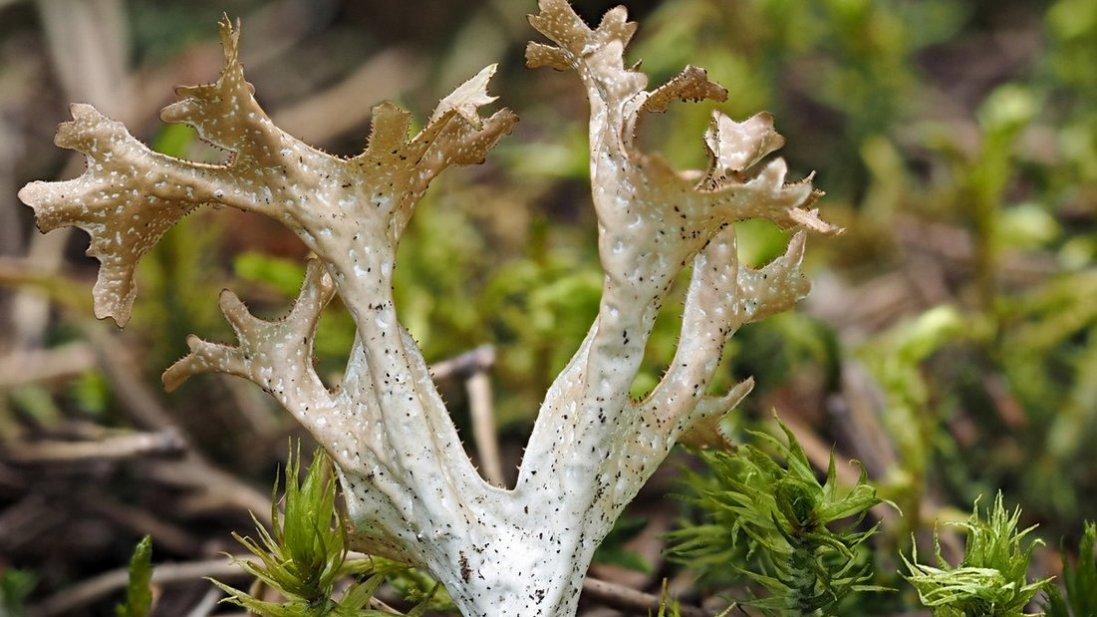 Чому ісландським мохом лікуються вже 300 років?