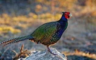 Як на Волині розводять фазанів