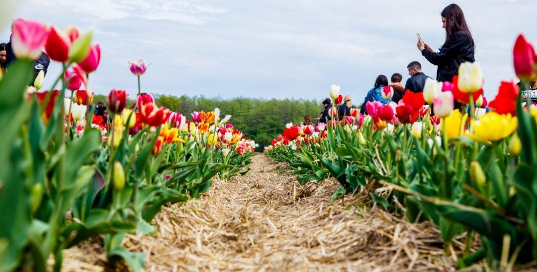 На Волині на кілька днів продовжать роботу тюльпанового поля
