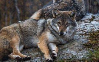 У Норвегії – смертельний атракціон «Поцілунок вовка» для любителів «полоскотати нерви»