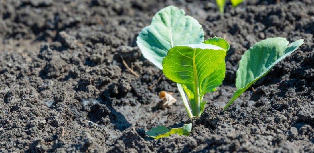 18 травня: якщо висадите сьогодні розсаду – отримаєте  смачний урожай