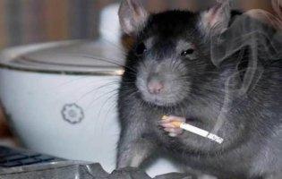 Як позбутися від щурів в будинку?
