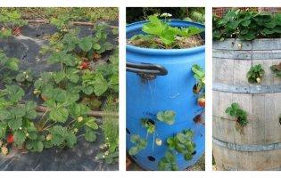 Для щедрого врожаю вирощує полуницю в діжці або під плівкою