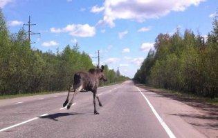 Біля Луцька по автотрасі бігає лось